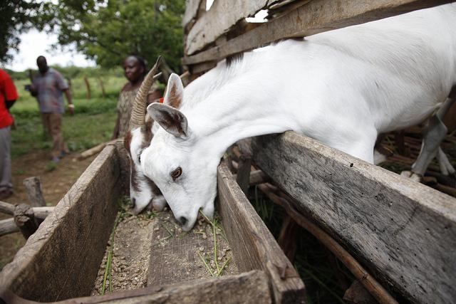kenyan goat